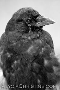 Raven_BW-AC4x6