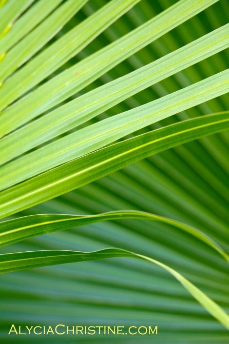 Palm_Fans-4x6AC
