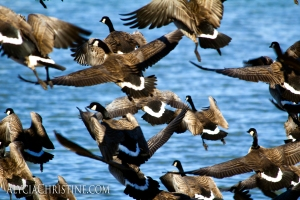 Canada_Geese_in_Flight-4x6AC