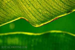 """Banana Leaf Lines"" - click the image to enlarge or buy."