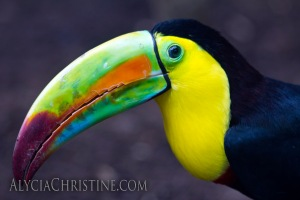 """Toucan Gaze"" - click the image to enlarge or buy."